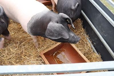 schwäbisch hällisches landschwein